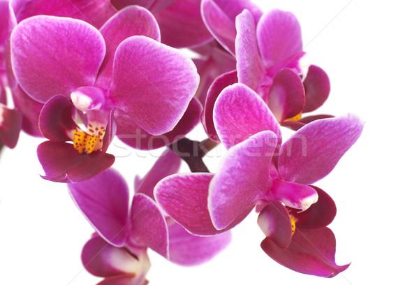 орхидеи Purple изолированный белый природы Сток-фото © goir