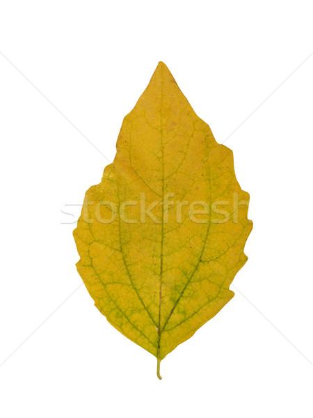Automne feuille isolé blanche nature environnement Photo stock © goir