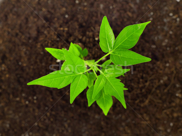Small plant in dirt Stock photo © goir