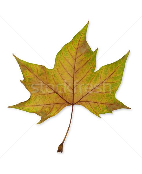 Autumn leaf Stock photo © goir