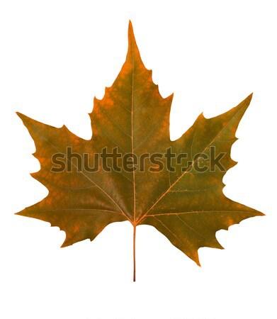 Brun feuille d'érable isolé blanche nature automne Photo stock © goir