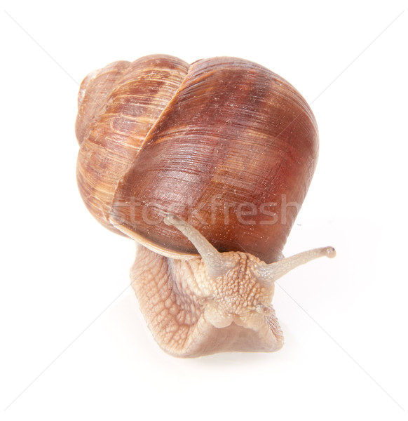 Snail front view Stock photo © goir