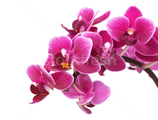 Orchidée pourpre isolé blanche nature Photo stock © goir