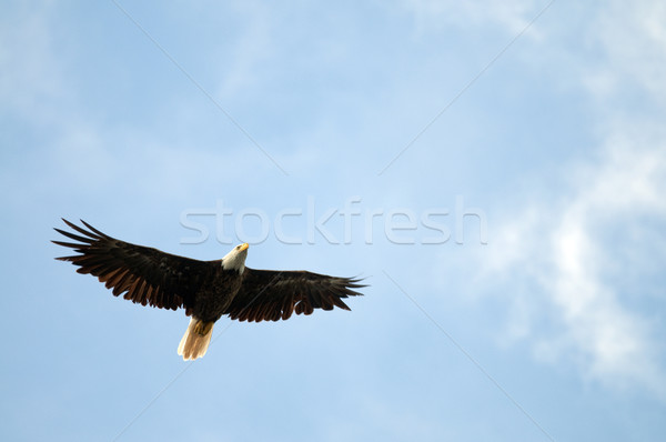 Soaring Bald Eagle Stock photo © Gordo25