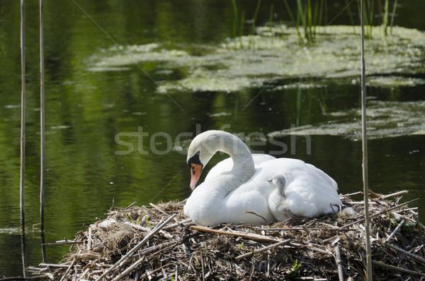 Swan & Young Stock photo © Gordo25