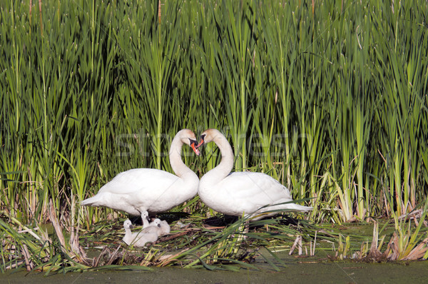 Heart Shape Swan Necks Stock photo © Gordo25