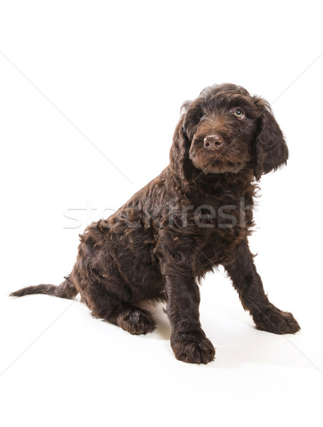 Labradoodle Looking Up Stock photo © Gordo25
