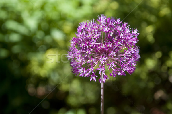 Allium Pink Flower Stock photo © Gordo25