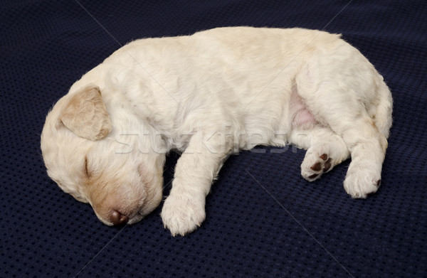 White Labradoodle Puppy Stock photo © Gordo25