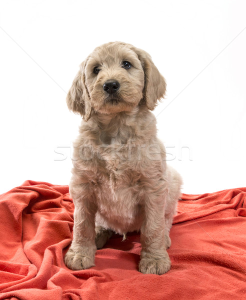 Blond Labradoodle Stock photo © Gordo25