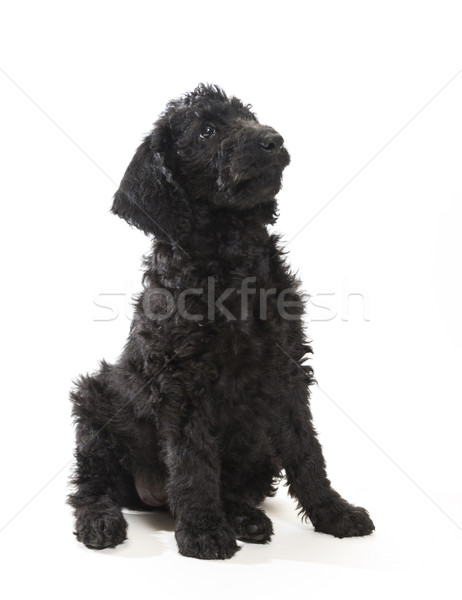 Black Labradoodle Stock photo © Gordo25