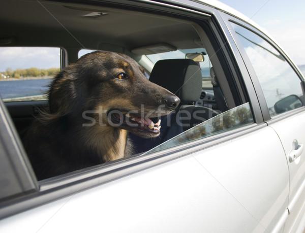Auto hond naar uit venster gelukkig Stockfoto © Gordo25