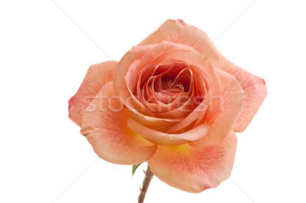 Foto stock: Perfeito · laranja · rosa · macro · imagem · pêssego