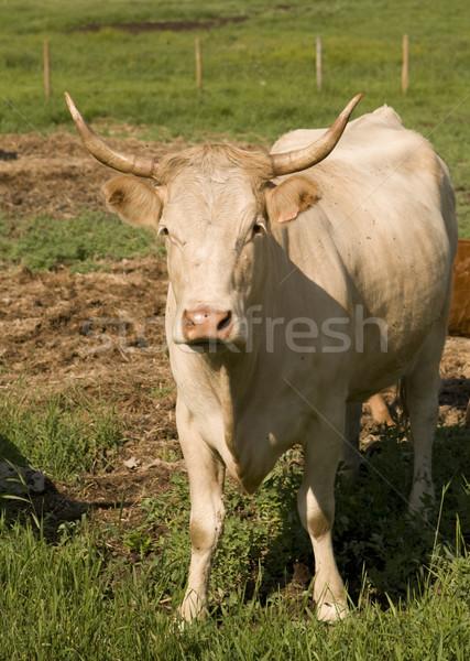Beef Cow Stock photo © Gordo25