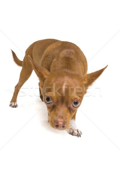 Timid Chihuahua Stock photo © Gordo25