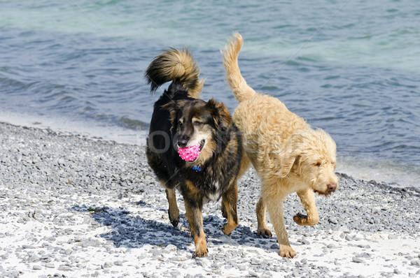 собаки пляж избирательный подход собака мяча играет Сток-фото © Gordo25