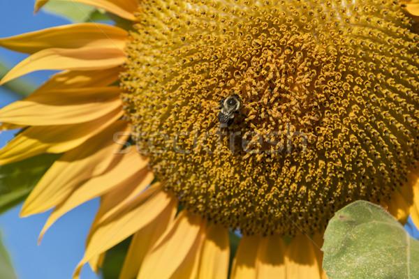 Girassol abelha grande natureza beleza Foto stock © Gordo25