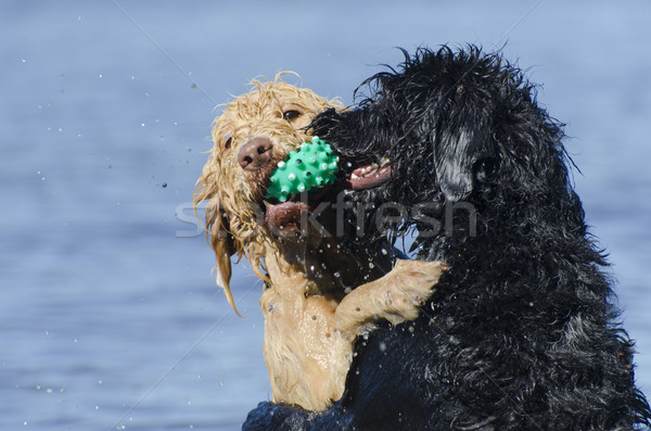 Dogs Retreiving the Same Ball in the Water Stock photo © Gordo25