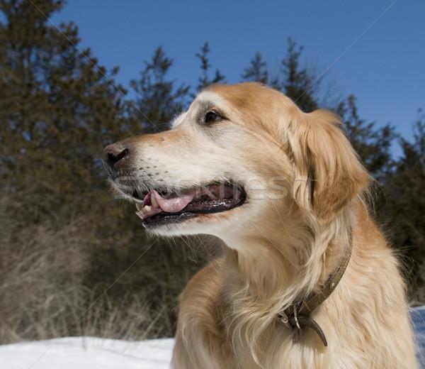 Золотистый ретривер портрет счастливым парка собака Сток-фото © Gordo25