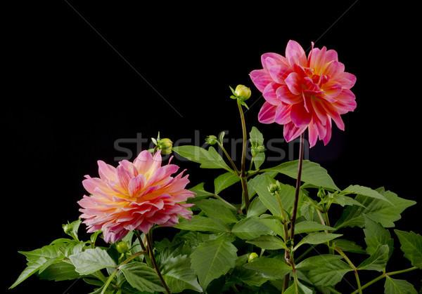 Dalya renk çiçek siyah çiçek çiçekler Stok fotoğraf © Gordo25