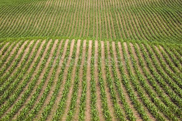 トウモロコシ 新しい グラフィック 画像 食品 ストックフォト © Gordo25