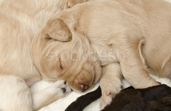 Focus on Carmel Labradoodle Pup Stock photo © Gordo25