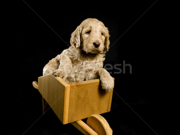 Labradoodle Puppy in a Wheelbarrow Stock photo © Gordo25
