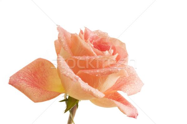 капли одной розы оранжевый закрывается белый дождь Сток-фото © Gordo25
