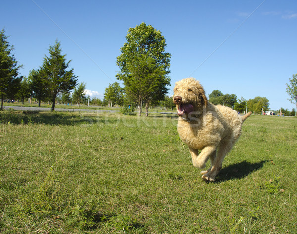 Labradoodle Running at the Park Stock photo © Gordo25
