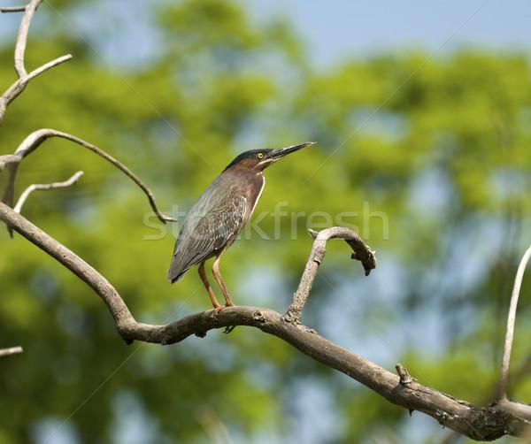 Reiger tak bomen natuur groene veer Stockfoto © Gordo25