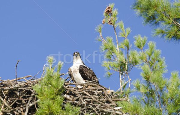 Osprey Watching the Photographer Stock photo © Gordo25