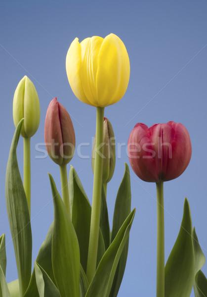 Monte tulipas diferente blue sky flor Foto stock © Gordo25