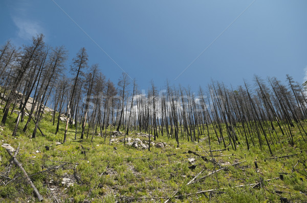 Forest Fire Aftermath Stock photo © Gordo25