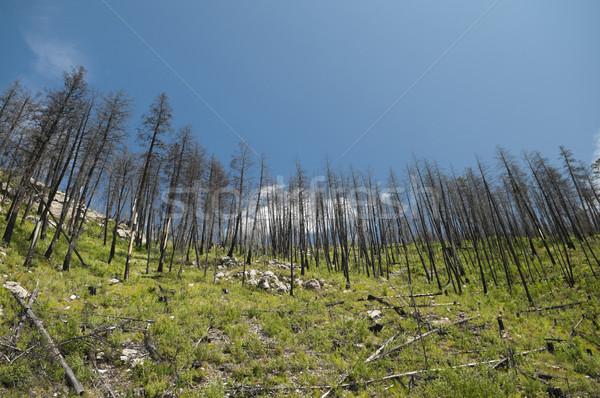 Incendios forestales nuevos crecimiento montana pino naturales Foto stock © Gordo25