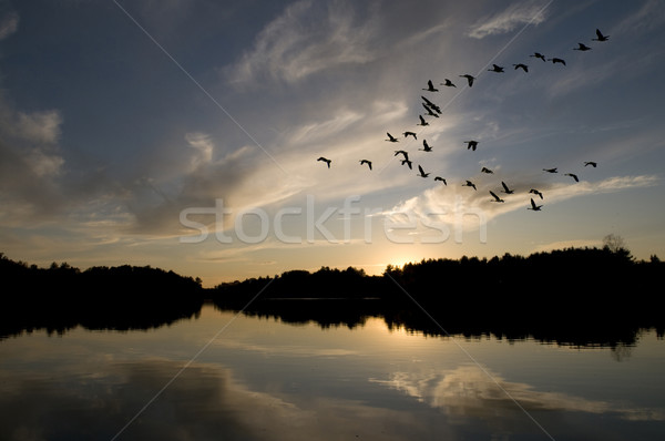 Canadian Geese at Sunset Stock photo © Gordo25