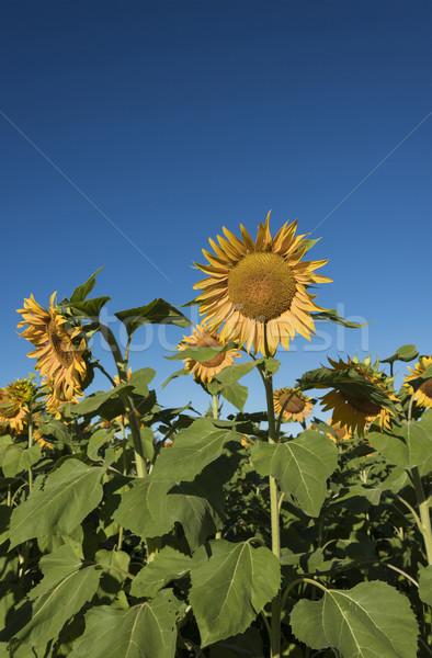 Zonnebloem augustus selectieve aandacht voorgrond veld zonnebloemen Stockfoto © Gordo25
