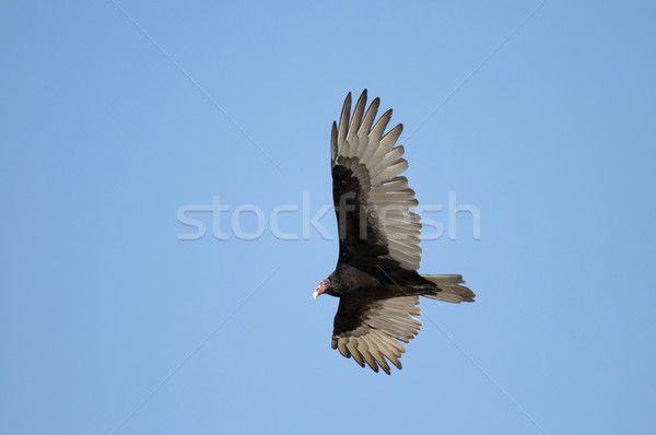 гриф Flying большой глубокий Blue Sky птица Сток-фото © Gordo25
