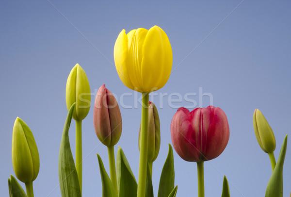 チューリップ 青空 異なる 花 春 ストックフォト © Gordo25