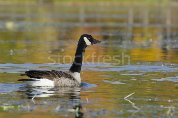 Goose and Autumn Colors Stock photo © Gordo25