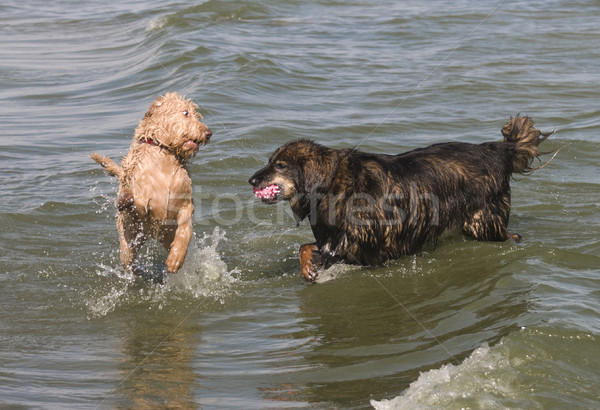 Dogs Playing Stock photo © Gordo25