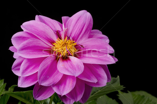 Dahlia roze bloesem selectieve aandacht zwarte bloemen Stockfoto © Gordo25