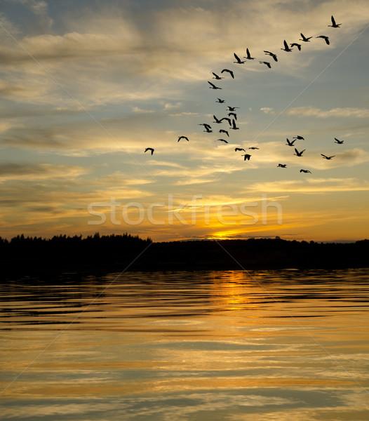 Geese at Sunset on the Lake Stock photo © Gordo25