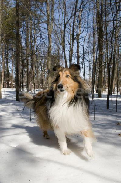 Fajtiszta merő park néz csinos kutya Stock fotó © Gordo25