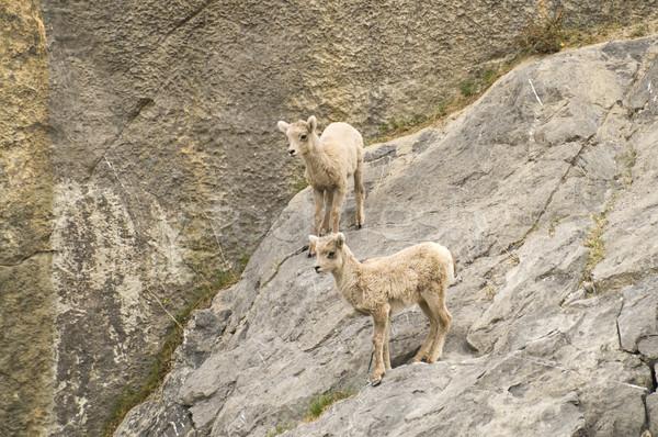 Geiten rand twee jonge berg permanente Stockfoto © Gordo25