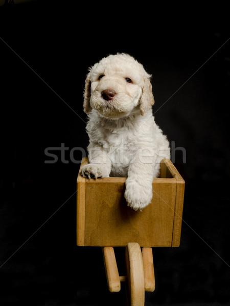 Poodle Lab in a Wheelbarrow Stock photo © Gordo25