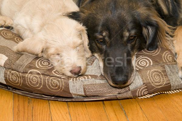 молодые старые собаки взрослый собака Сток-фото © Gordo25