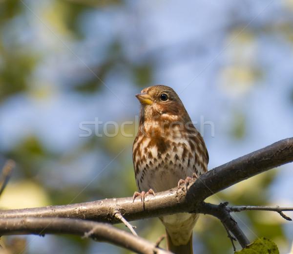 Piosenka wróbel wiosną ptaków Zdjęcia stock © Gordo25