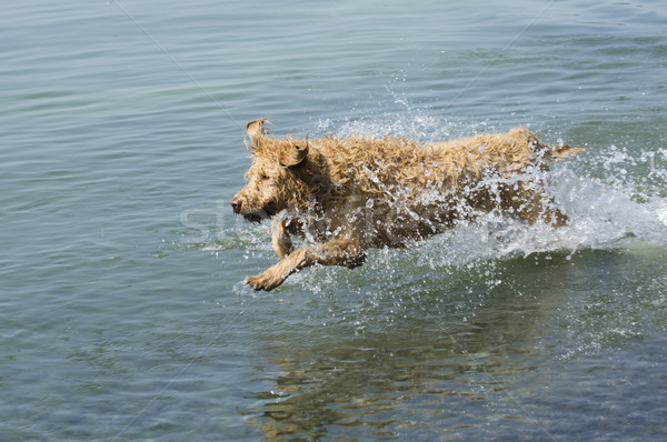 Running Labradoodle Dog Stock photo © Gordo25