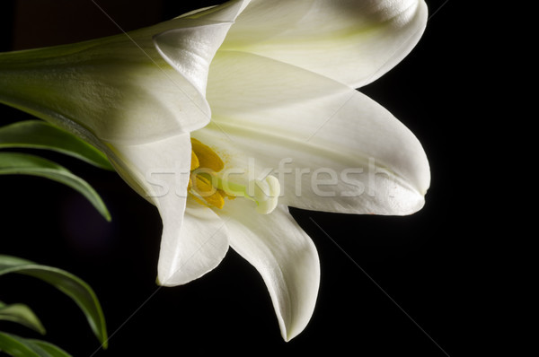 フォーカス イースター ユリ 花粉 選択フォーカス 黒 ストックフォト © Gordo25