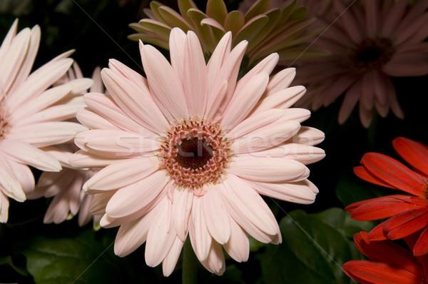 Roze daisy selectieve aandacht voorgrond tuin plant Stockfoto © Gordo25